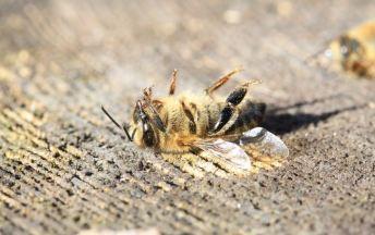 Bie død
